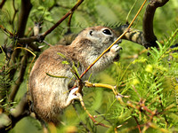Treed Ground Squirrel