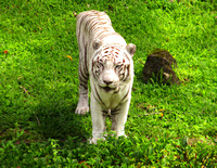 Namaste, the White Tiger